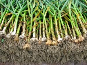 growing_garlic